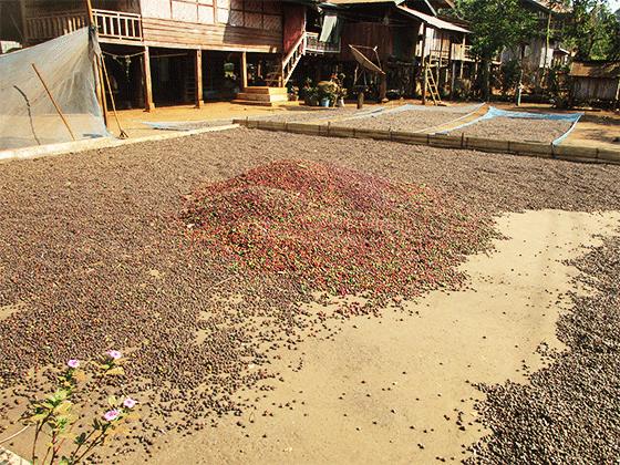ドンニャイ村で収穫されたコーヒー豆